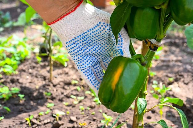 農夫は庭のピーマンをチェックします。枝のコショウ。農夫の手。農業、ガーデニング、野菜の栽培。閉じる。