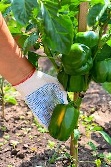 農夫は庭のピーマンをチェックします。枝のコショウ。農夫の手。農業、ガーデニング、野菜の栽培。