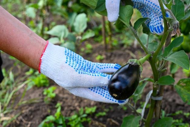 농부는 정원에서 가지를 확인합니다. 지점에 가지입니다. 농부의 손입니다. 농업, 원예, 채소 재배. 확대.