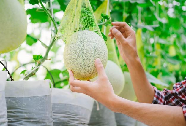 ビニールハウスのメロン農園でメロンを手にする農家