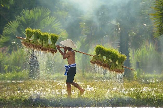 緑のフィールド、タイ、タイの農家、タイ米、タイのフィールド、タイの文化、米の赤ちゃんの植物にricebabyを保持している農家
