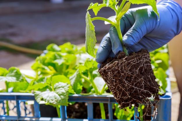 농부는 손에 오이의 어린 묘목을 들고 있습니다. 건강한 루트 시스템. 땅에 오이 심기.