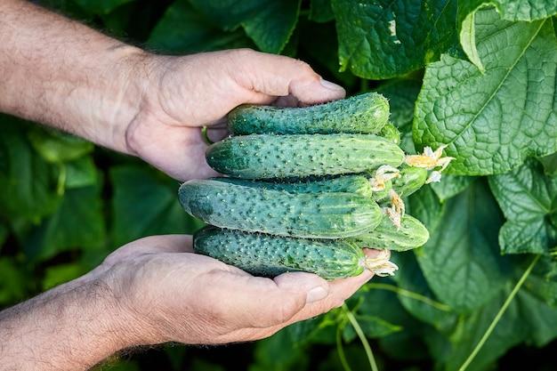 農家は温室からの新鮮なキュウリの新しい作物を手に持っています