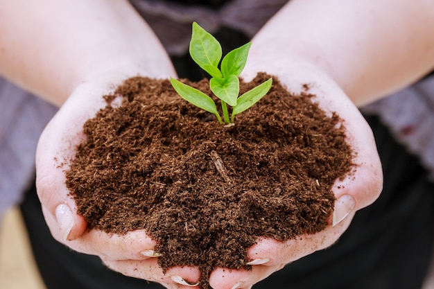 농부는 손에 후추 묘목으로 흙을 쥐고 있습니다.