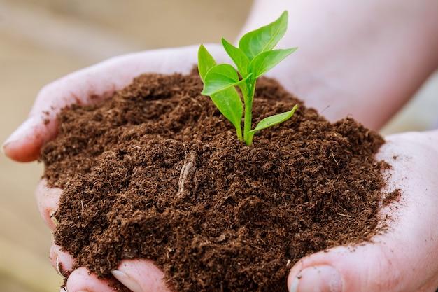 농부는 손에 후추 모종을 들고 흙을 들고 있습니다.