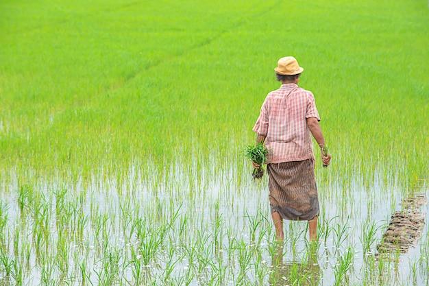 농부는 여자이다 태국 논타 부리 bangyai park의 습지와 논에 심은 쌀을 들고 모자를 쓴다.