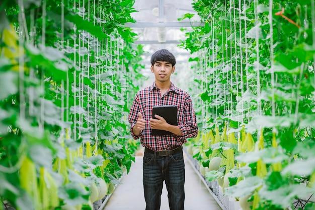農家はビニールハウスのメロン農園でメロンの品質をチェックしています