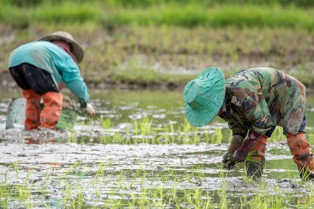 有機水田の農耕地に植える農夫