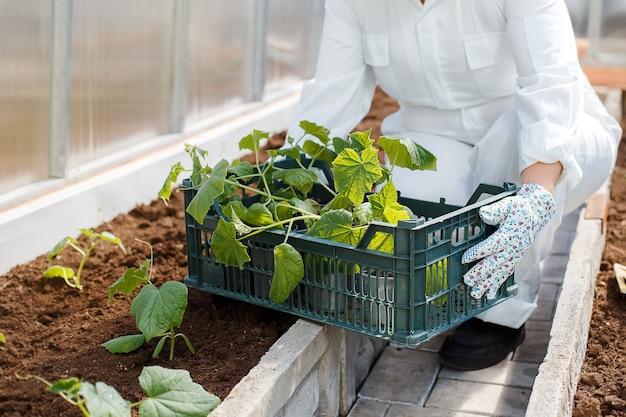 農家はキュウリの若い苗を植えるために準備します