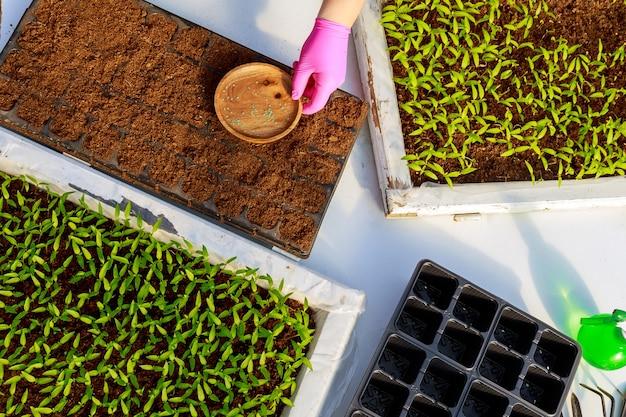 농부는 땅에 식물의 씨앗을 뿌립니다. 묘목 재배, 이식, 채소 심기