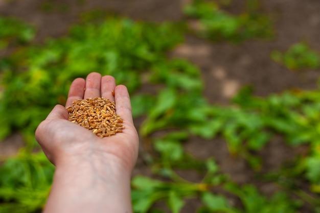 Фермеры держат зерно в руке