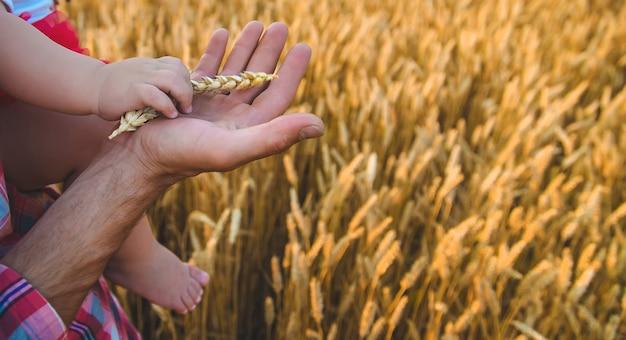 父親は赤ちゃんに手に小麦のスパイクを与えます。セレクティブフォーカス。