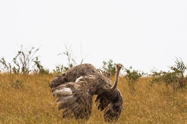Женский африканский страус. кения, африка