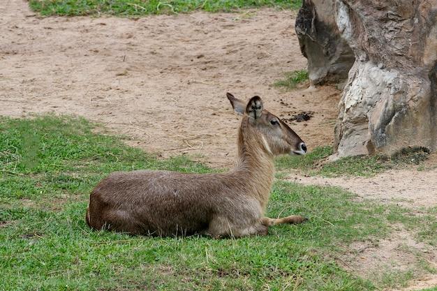 Самка оленя в саду природы в таиланде