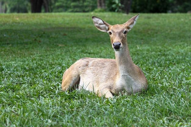 Самка оленя садится и отдыхает в саду в таиланде