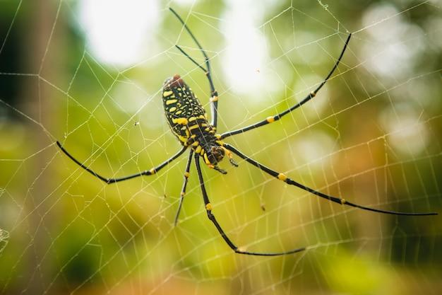 Самка golden web spider nephila pilipes в таиланде