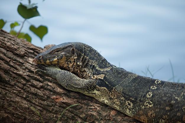 オオトカゲのメスは木の丸太の上に横たわっています。ファッションポーズ