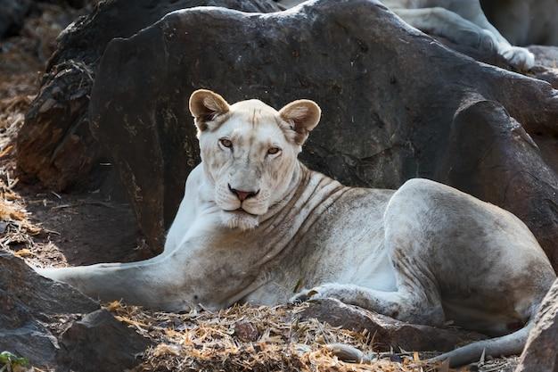 雌の白いライオン