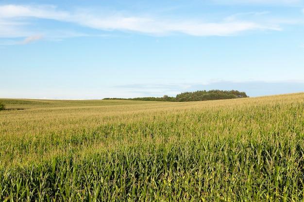 グリーンコーンが育つ畑。夏の写真