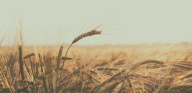 Поле с пшеницей на закате