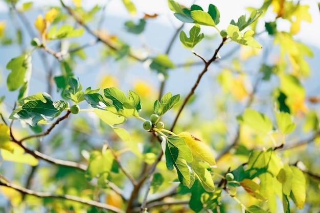 Фиговое дерево с плодами и большими листьями, наполненными золотым солнечным светом