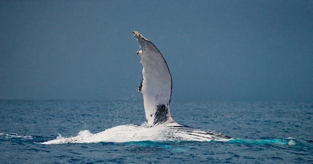 Плавник-горбатый кит. мадагаскар. остров святой марии.