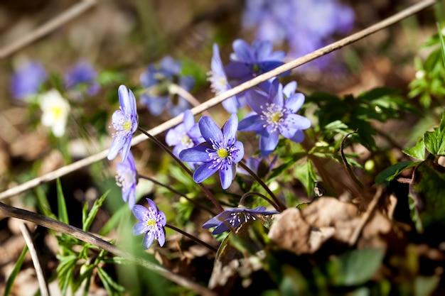 春の最初の青い森の花、森の春の森の植物