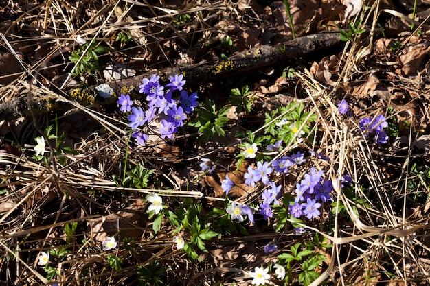 Первые синие лесные цветы весной, лесные растения весной в лесу