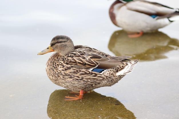 春のアヒルの最初の日は晴れた日に湖で泳ぎます