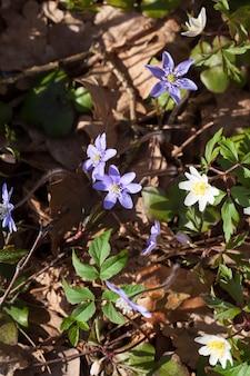 春と夏に森や公園で最初に生えた花