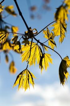 春の本物のカエデの木の最初の緑の葉、自然の中で春のカエデの木のクローズアップ