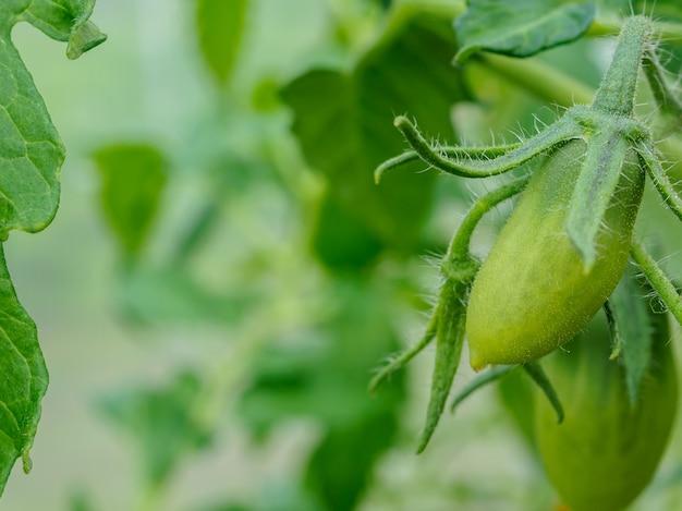 가지에 첫 번째 작은 녹색 토마토 과일. 가정 정원에서 유기농 채소 재배. 공간을 복사합니다.