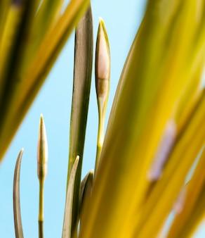 Первые цветы подснежника в весенний сезон, растущие цветы подснежника с бутонами и зелеными листьями