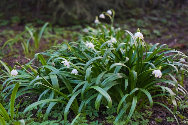 春の庭で最初のスノードロップ