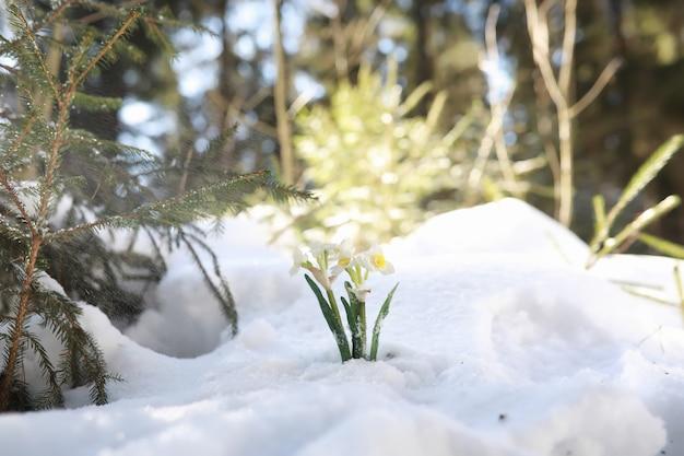 最初の春の花。森の中の雪だるま。森の中の春の晴れた日。