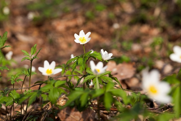 Первые белые лесные цветы весной
