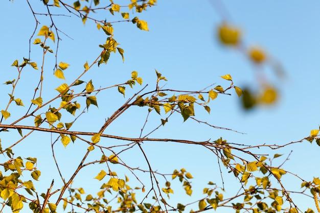 春の自然の中で、春の季節の木に最初の若い葉がクローズアップ