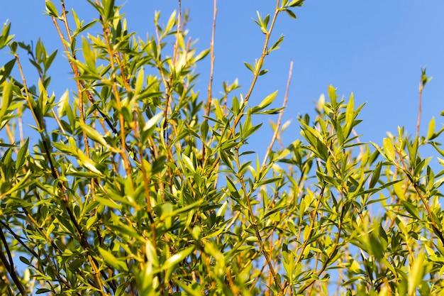 春の自然の中で、春の季節の木に最初の若い葉、クローズアップ