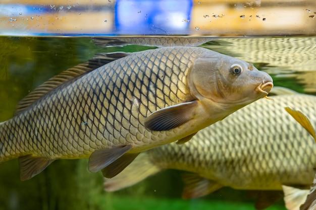 魚の鯉。人間の監督下で満足した魚。絶滅危惧種の動物を助けます。クローズアップ。