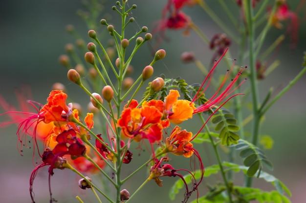 フレイムツリーロイヤルポインシアナデロニックスレジアは、顕花植物の明るいオレンジ色の花種です