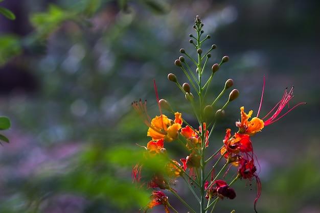 フレイムツリーロイヤルポインシアナデロニックスレジアは、開花計画の明るいオレンジ色の花の種です