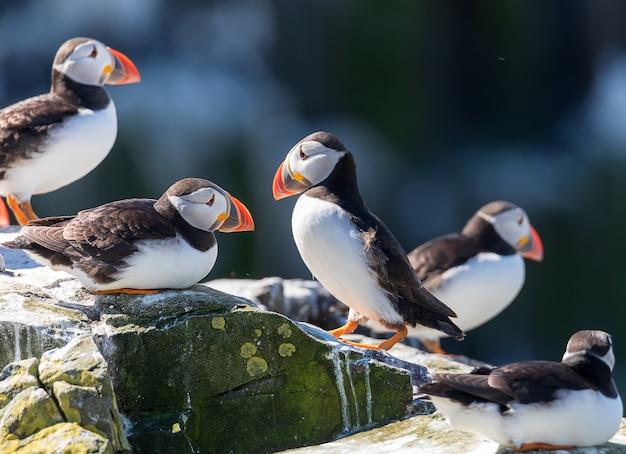 ニシツノメドリの群れは、英国ノーサンバーランドのファーン諸島の自然の崖の上に立っています。