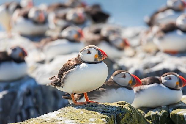 ツノメドリの群れは、英国ノーサンバーランドのファーン諸島の崖でリラックスしています。