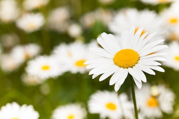野外で撮影されたカモミールの花。夏
