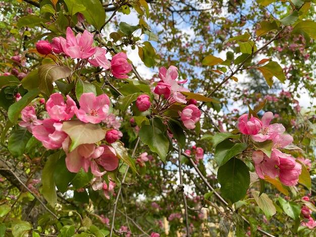 花木マルスドメスティカ自家製リンゴの木の花