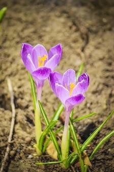 꽃은 봄에 앵초입니다. 선택적 초점.