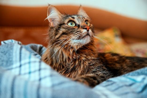 ふわふわの猫は目をそらし、柔らかい毛布の上に横たわっています。大きな緑色の目と長い口ひげ。ペット。