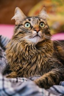 ふわふわの猫が見上げて、柔らかい毛布の上に横たわっています。大きな緑色の目と長い口ひげ。ペット。