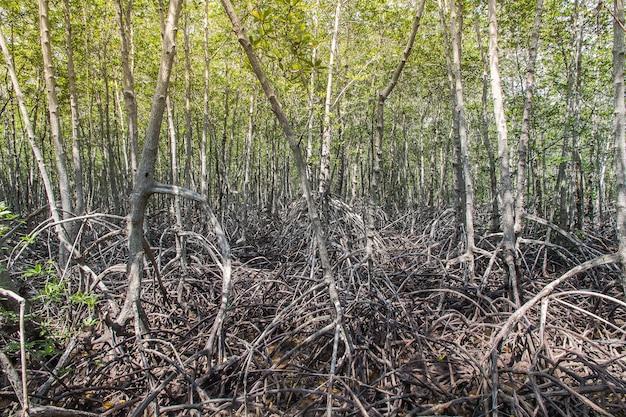 Лесной мангровый лес в национальном парке пранбури, таиланд.