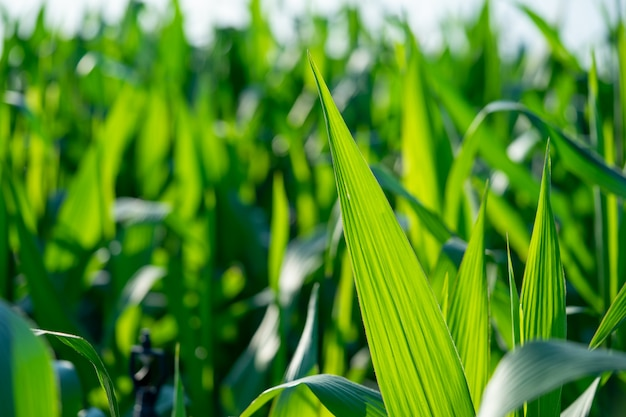 新鮮な緑のトウモロコシの葉は、トウモロコシの完全性を示しています。